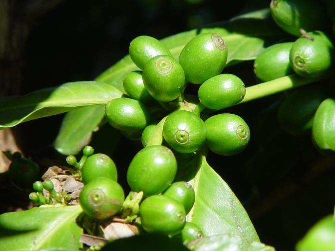 These flowers begin to turn into coffee cherries, starting out green.