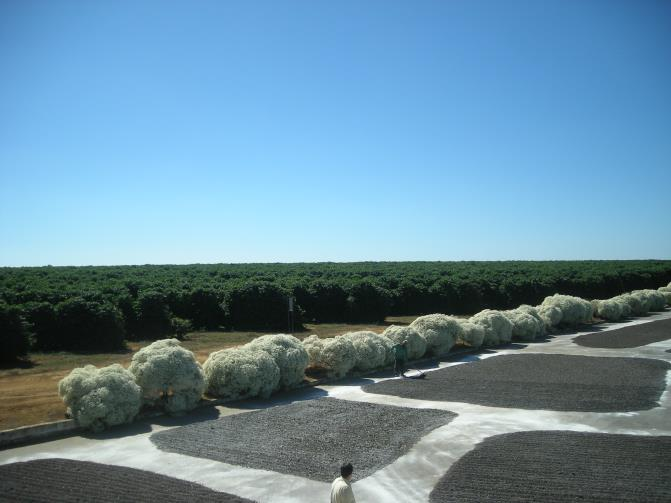 After the coffee cherries are ripe, picked and cleaned, they are spread out on a canvas to dry naturally under the sun.