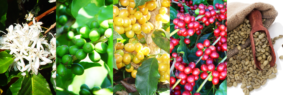The Coffee Growing Process